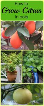Growing Citrus In Pots 8 Simple Steps