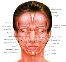 face anatomy anatomy of human face 25 trending anatomy of the face ideas on