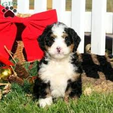 a bernedoodle miniature puppy named gunther