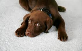 the effects of pet urine on carpeting