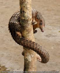 conservationpartnering for pangolin conservation