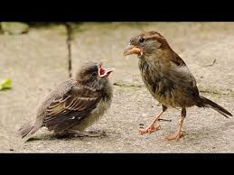 Baby Bird Age Chart Two Critical Weeks For Fledgling House Sparrows
