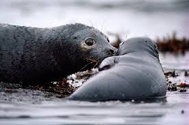 frozen treasure defending the arctic earthjustice a seal and pup covered oil during the exxon valdez spill in prince william