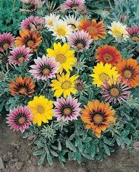 Amazon.com : Talant Treasure Flower Gazania 20 Seeds - Annual : Flowering  Plants : Garden & Outdoor