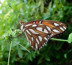 life cycle of the gulf fritillary butterfly photo essay jpg gulf fritillary butterfly