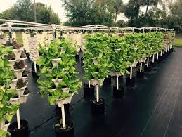 hydroponic lettuce being grown in vertical drain to waste system