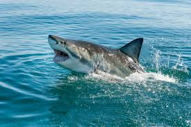 great white shark attack. Beautiful Attack Massachusetts Suffered Its First Fatal Shark Attack In Decades Hereu0027s How  Common They Really Are The US Intended Great White