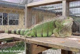Green Iguana Care Sheet