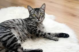 grey and black tabby cat laying on a white rug