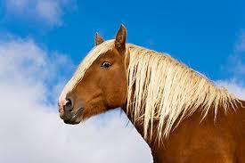 draft horse head profile. Exellent Draft Draft Horse Head Profile  Photo4 For Horse Head Profile Animalia Life