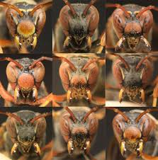 wasps can recognize faces a diagram of paper wasp faces