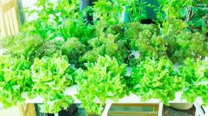 garden greens. Micro Greens \u2013 A Simple Way To Grow Your Own Indoor Garden