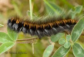 Image result for sommerfuglelarver