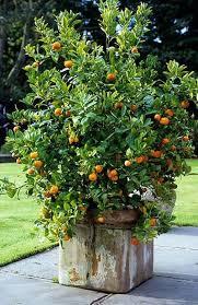 Daleys Fruit Tree Blog Dwarf Avocado Trees  Fuss PotsPots For Fruit Trees