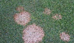 Turf Disease Top 5 Common Lawn And Turfgrass Diseases Turf