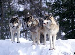 gray wolf pack in forest. Beautiful Forest With Gray Wolf Pack In Forest C
