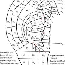 Chinese Ear Chart The English And Chinese Version Of Prof Bahrs Auricular