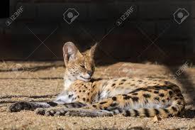 Immagini Stock - Il Serval Serval, Leptailurus, è Un Gatto Notturno Si  Verificano Diffusa In Africa Image 31396897.