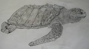 Small Picture Olive Ridley Sea Turtle Drawings Pencil and Pen Patsys