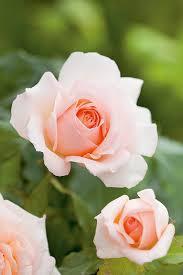 rosier sweet love jardiland