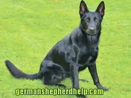 Black German Shepherds 2020 Todays Latest Update About