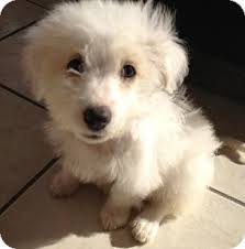 west highland white terrier maltese mix. Perfect Maltese Adopted And West Highland White Terrier Maltese Mix E