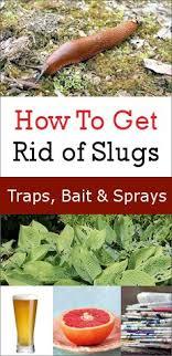 invasion of garden slugs here s how to