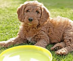 9 Best Healthiest Dog Foods For A Labradoodle Puppy In 2019