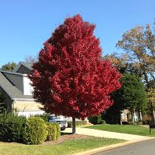 Image result for maple trees in yards