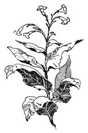tobacco plant clipart.  Tobacco Tobacco With Plant Clipart O