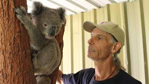 koalas their valentine at potoroo palace photos merimbula cuddly creature potoroo palace s john marsh checks in on new koala jimmy who he