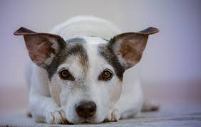 Can I Give My Dog Tylenol Canna Pet