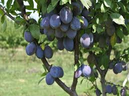 345 Best Growing Fruit U0026 Nut Trees Images On Pinterest  Gardening Fruit And Nut Trees