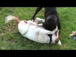 american bulldog vs pitbull fight. PIT BULL VS AMERICAN DOG FIGHT With American Bulldog Vs Pitbull Fight