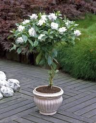 gardenia plant care