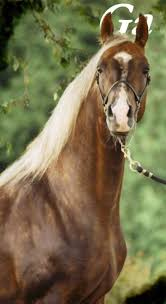 best images about hearts all the pretty horses hearts  american saddlebred gold suntana he is take your breath away beautiful j b