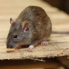 rats naturally