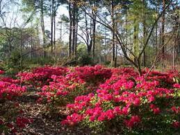 azalea planting time