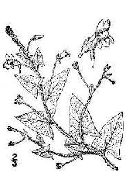 Plants Profile for Kickxia elatine (sharpleaf cancerwort)