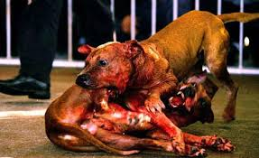 mean pitbull dogs fighting. Interesting Mean Dog Fighting Has Been Popular In Many Countries Throughout History And  Continues To Be Practiced Both Legally Illegally Around The World For Mean Pitbull Dogs Fighting C