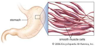 Asthma is a common pulmonary condition defined by chronic inflammation of respiratory tubes, tightening of respiratory smooth muscle, and episodes of bronchoconstriction. Smooth Muscle Anatomy Britannica