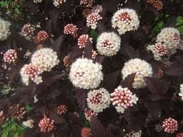 Image result for ninebark shrub