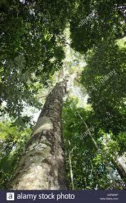 amazon rainforest tree leaves.  Amazon Brazil Amazon Rainforest Amazonia Jungle Forest Tropics Tropical Wood Tree  Trees Leaves Leaf Lush Green Nature Scenery Treetop Throughout Rainforest Tree Leaves 2