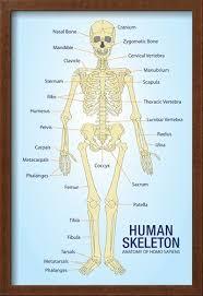 Anatomical Chart Posters Human Skeleton Anatomy Anatomical Chart Poster Print Posters