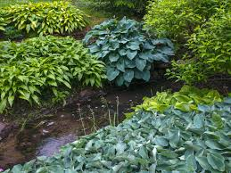 12 colorful hosta types for your garden