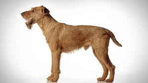 Irish Terrier Weight Chart Irish Terrier Dog Breed Selector Animal Planet