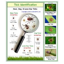 Cdc Tick Identification Chart Tick Id Removal Submisson Mainely Ticks