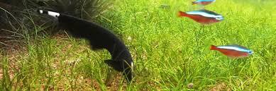 Black Ghost Knife Fish Compatibility Chart Black Ghost Knifefish Care Diet Breeding Aquarium Info