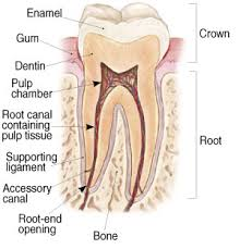 Here is a more decriptive price breakdown of the root canal treatments that we offer how much does it cost for a root canal and crown without insurance? Tampa Root Canal Treatment Citrus Endodontics
