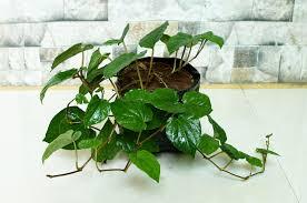 Betal Leaf Plant